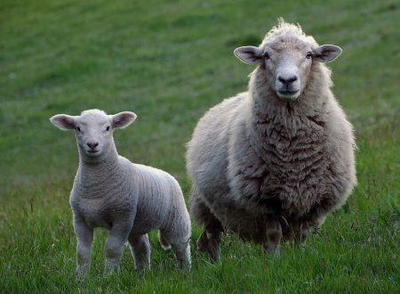 Pasqua, Napoli vieta la vendita di agnelli e capretti nelle macellerie