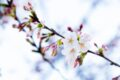 Roma: fioritura dei Sakura